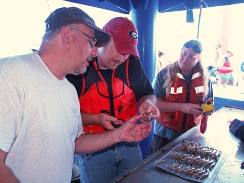 Researchers Marc Frischer (UGA Skidaway Institute), Brian Fluech and Lisa Gentit (both UGA Marine Extension and Georgia Sea Grant) examine shrimp for signs of black gill.