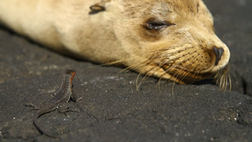 "Galapagos sea lion and lava lizard from ""Galapagos 3D"""