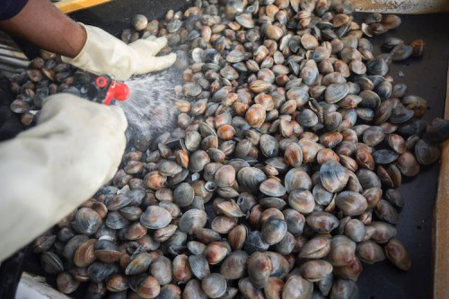 Clams are cleaned before being sorted by size.
