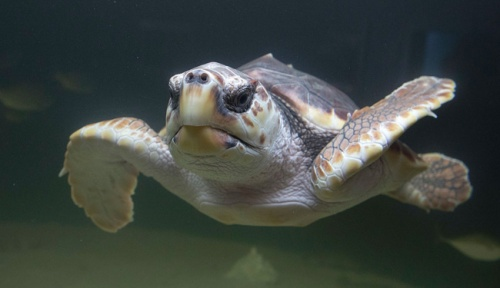 sea-turtle-skidaway-aquarium-650p